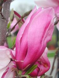 Art: Magnolia Bud by Artist Shawn Marie Hardy