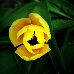 Art: Rain-Kissed Yellow Tulip by Artist Amie R Gillingham