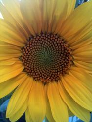Art: Unexpected Sunflower by Artist Amie R Gillingham