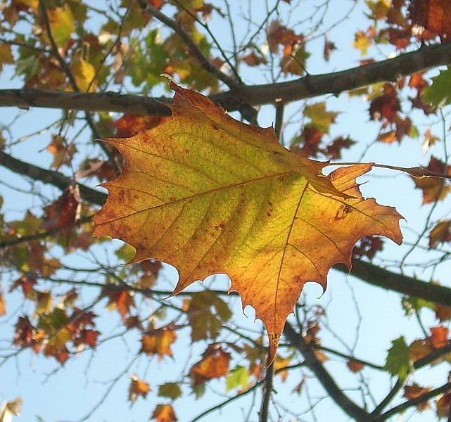 Art: Fall Leaf by Artist Sherry Key