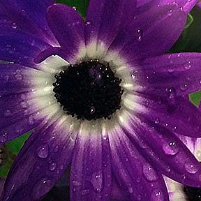 Detail Image for art Purple Rain