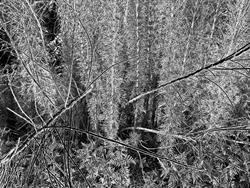 Art: Ferns and Branches by Artist Virginia Ann Zuelsdorf