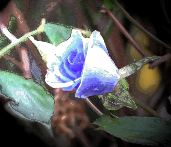 Art: Rose Blue by Artist Carissa M Martos
