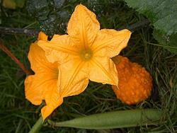 Art: Squash and Blossoms by Artist Ann Murray