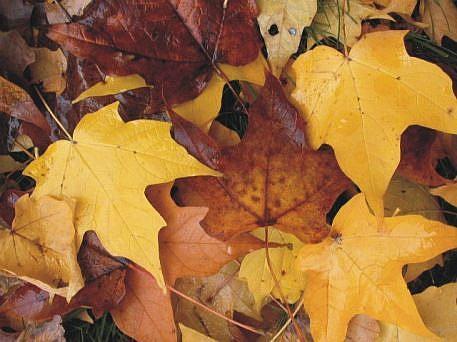 Art: Michigan Fall Maple Leaves SOLD by Artist Ann Murray