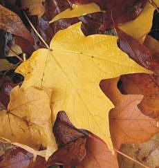 Detail Image for art Michigan Fall Maple Leaves SOLD
