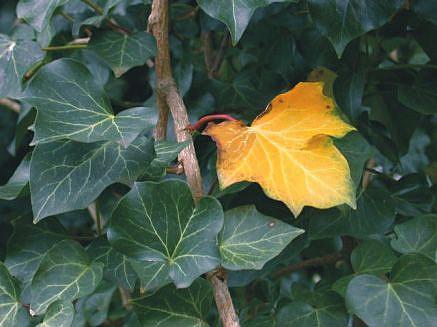 Art: First Fall Ivy Leaf by Artist Ann Murray