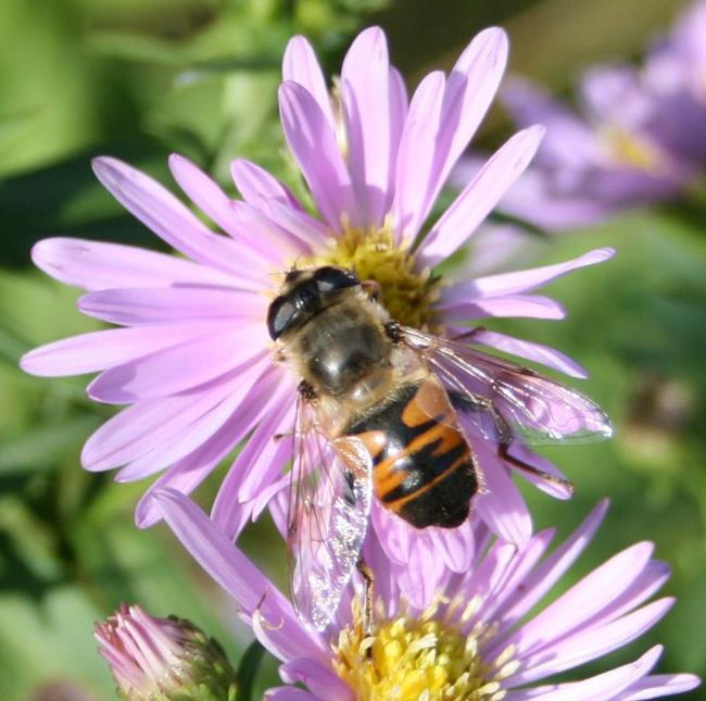 Art: Bee on Asters by Artist RUTH J JAMIESON