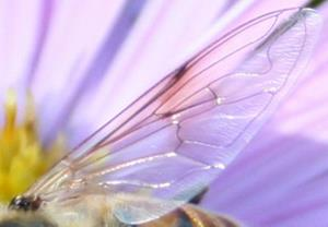 Detail Image for art Bee on Asters