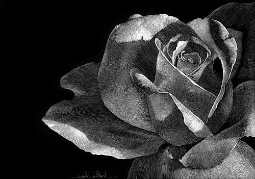 Art: Rose II by Artist Sandra Willard