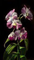 Art: Orchid II by Artist Sandra Willard