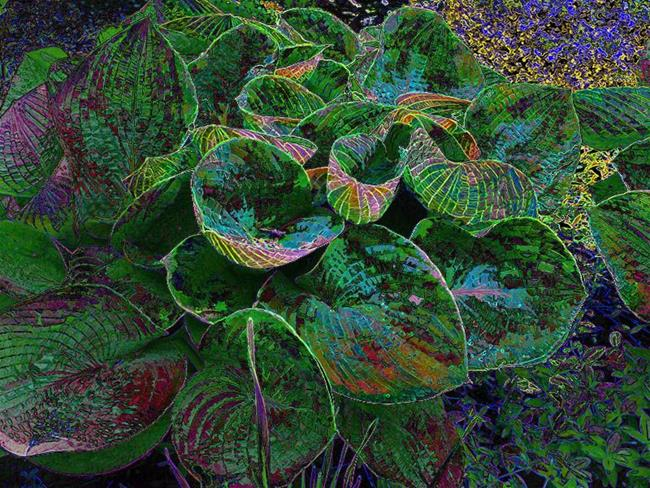 Art: Ripping Jeanne's Blue Hosta by Artist Carolyn Schiffhouer
