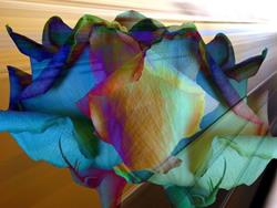 Art: Multihues of Roses by Artist Carolyn Schiffhouer