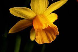 Detail Image for art Tina's Daffodil 2 - A Rip