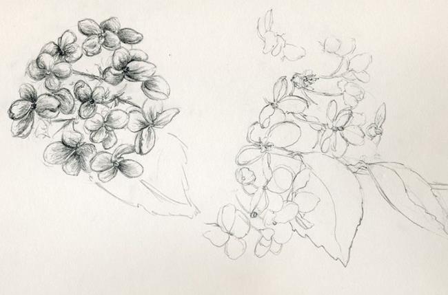 Art: Hydrangea paniculata by Artist Caroline Lassovszky Baker
