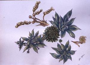 Detail Image for art Sempervivum