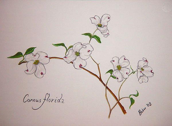 Art: Cornus florida by Artist Caroline Lassovszky Baker