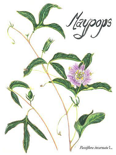 Art: Maypops  by Artist Caroline Lassovszky Baker