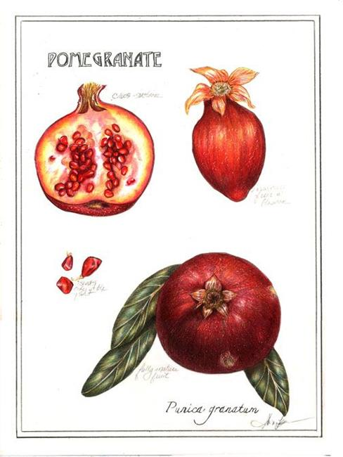 Art: Botanical Pomegranate by Artist Alma Lee
