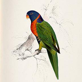 Detail Image for art Scarlet Parakeet