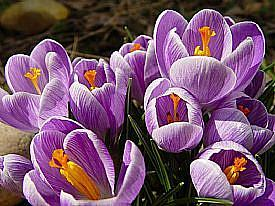 Detail Image for art Crocus, an Oriental Symphony