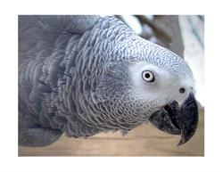 Art: African Congo Gray  Parrot by Artist David Mott