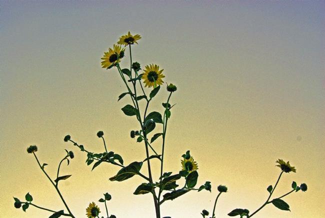Art: Setting Sun Flower by Artist Lisa Miller