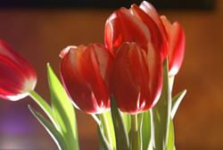 Art: Red Tulips by Artist Lisa Miller