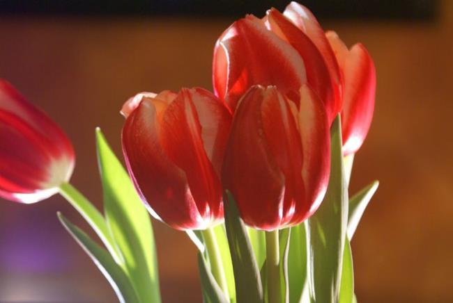 Art: Red Tulips by Artist Lisa Miller