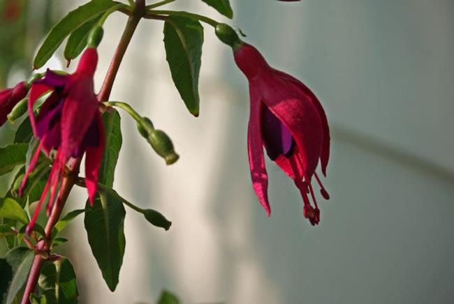 Art: Fuchsia and a Bug by Artist Lisa Miller