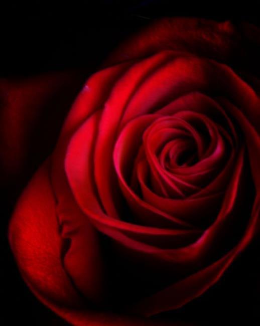 Art: Red Rose by Artist Lisa Miller
