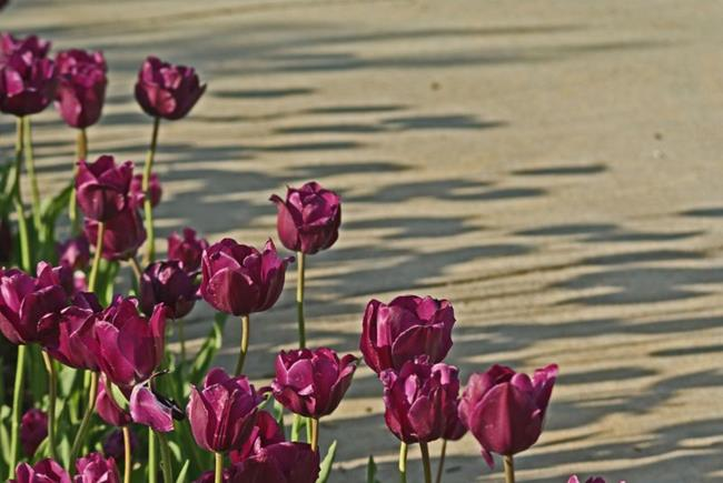 Art: Tulip Shadows by Artist Lisa Miller
