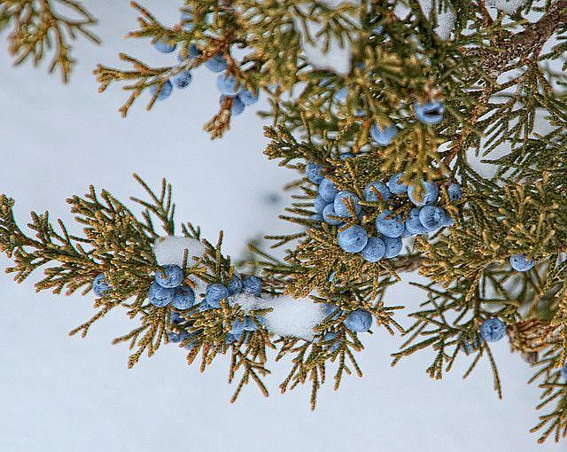 Art: Juniper Berries by Artist Lisa Miller