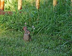 Art: Silly Rabbit by Artist Lisa Miller