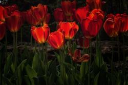 Art: Tulip Glow by Artist Lisa Miller