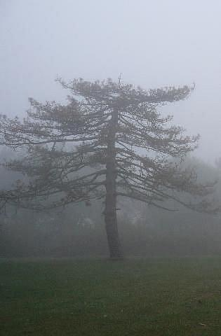 Art: foggy pine by Artist S. Olga Linville