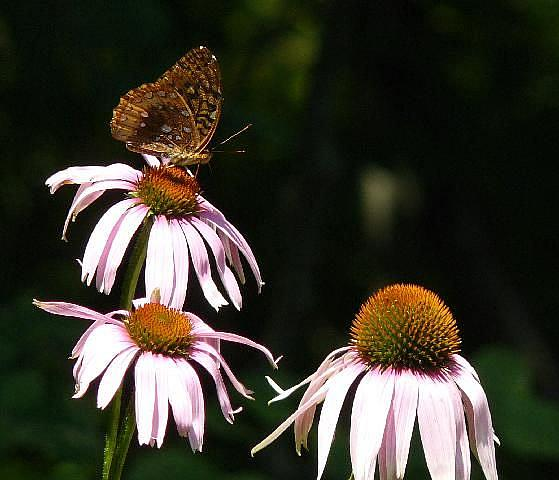 Art: echinacea & butterfly by Artist S. Olga Linville