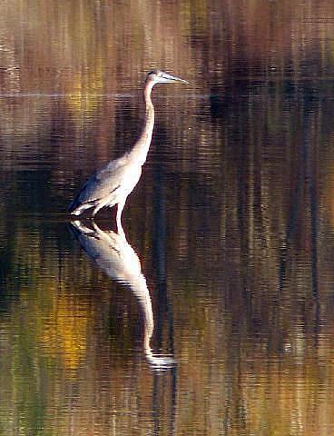 Art: autumn heron by Artist S. Olga Linville