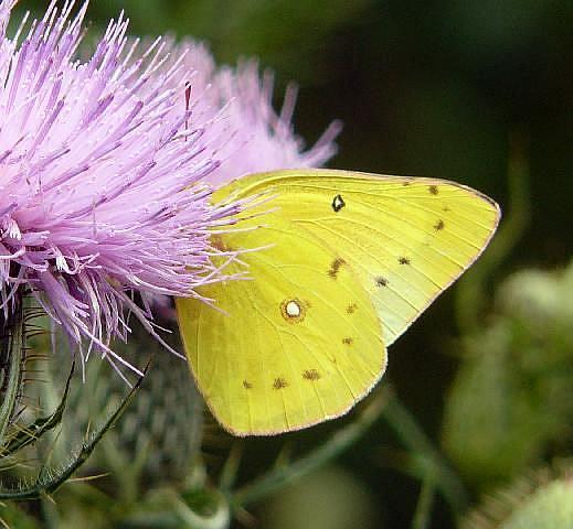 Art: sulphur butterfly by Artist S. Olga Linville