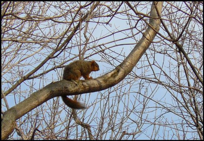 Art: sleepy squirrel by Artist S. Olga Linville