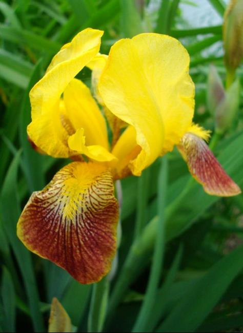 Art: Yellow Iris by Artist pamela jean lacasse