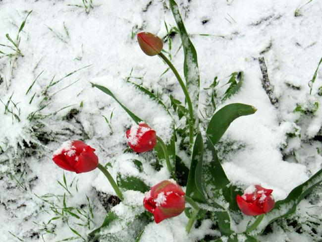 Art: tulips in the snow sm.jpg by Artist Diane Funderburg Deam