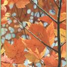 Art: Orange Maples by Artist Harlan