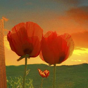 Art: Morning Poppies by Artist Carolyn Schiffhouer
