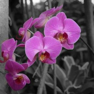 Art: Orchid on Black by Artist Carolyn Schiffhouer