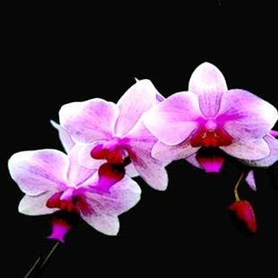 Art: Orchid on Black2 by Artist Carolyn Schiffhouer