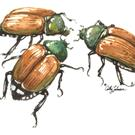Art: Japanese Beetles by Artist Cathy  (Kate) Johnson