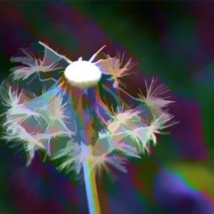 Art: Dandelion in Glory by Artist Carolyn Schiffhouer