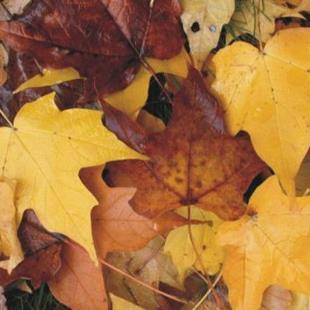 Art: Michigan Fall Maple Leaves SOLD by Artist Ann Murray