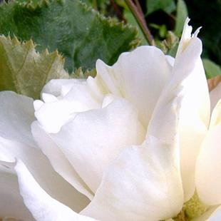 Art: White Begonia Closeup by Artist Deborah Leger